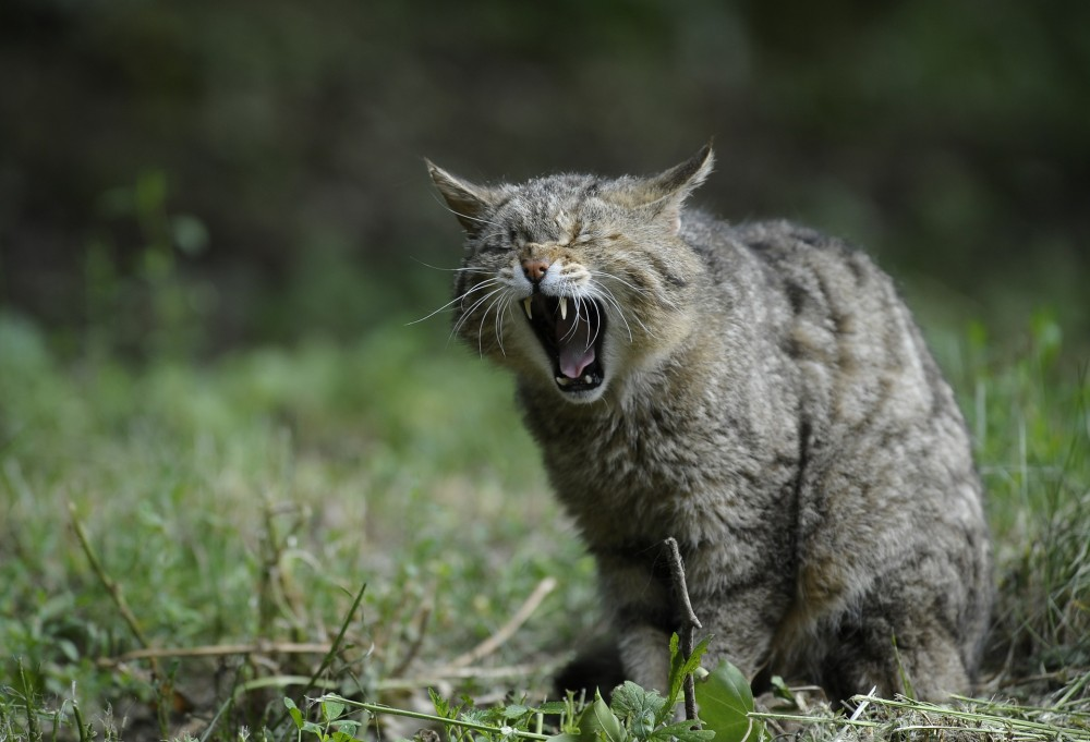Eine gähnende Wildkatze (Felis silvestris)