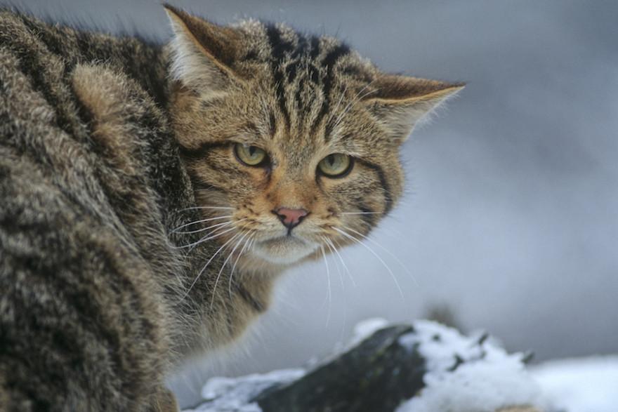 Europäische Wildkatze im Portrait