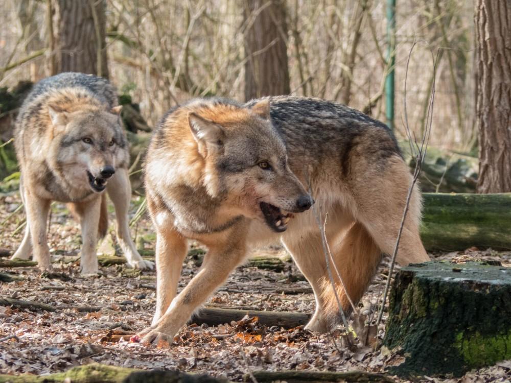 Wolfsduo fletscht die Zähne