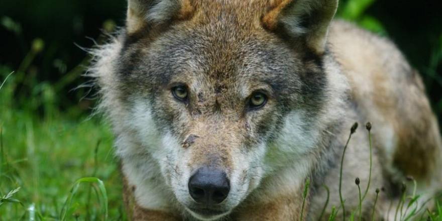 Immer wieder kommt es zu Verkehrsunfällen mit jungen Wölfen (Symbolbild: Marcel Langthim)