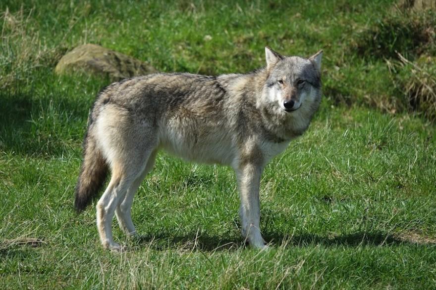 Wolf beäugt die Umgebung