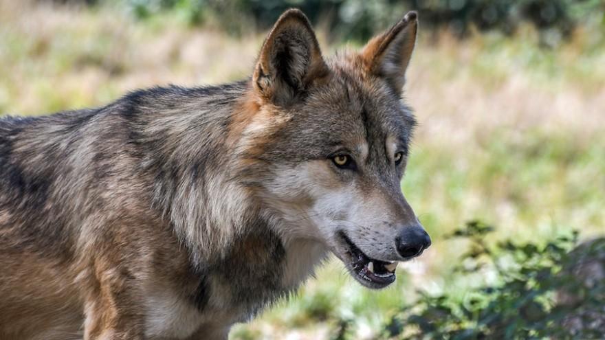 Wolf auf der Lauer