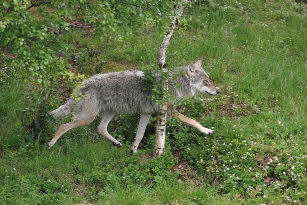 Wolf und Birke