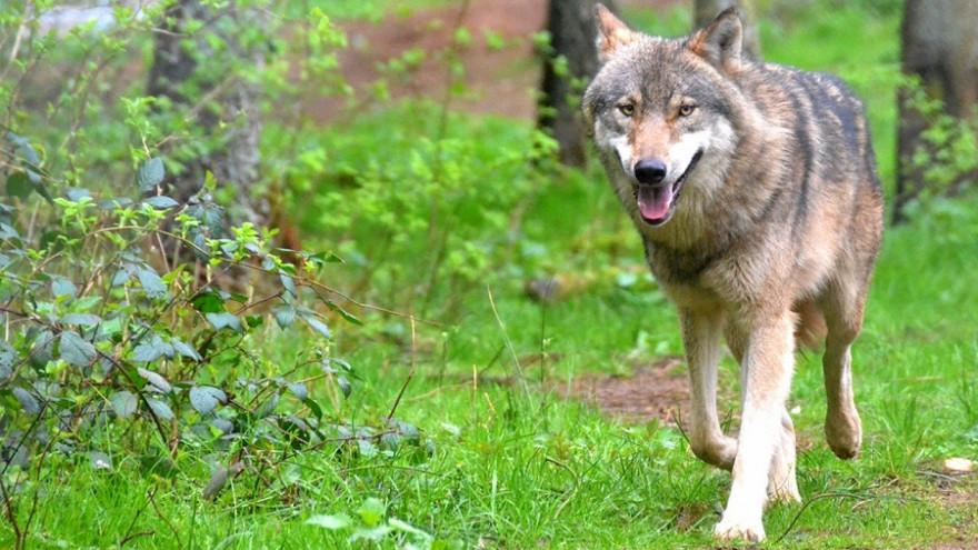 Ein einzelner Wolf kann an einem Tag bis zu 72 Kilometer zurücklegen und ist daher schwer zu finden (Symbolbild: © v. Schenck / Wildpark Eekholt).