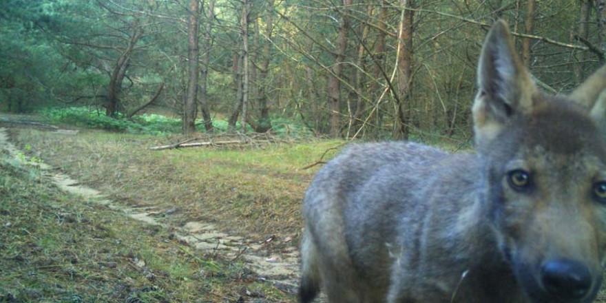 Wolfswelpen an der Müritz, in Torgelow und Jasnitz gesichtet Foto: Nationalparkamt Müritz