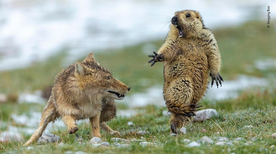 Quelle: © Yongqing Bao - Wildlife Photographer of the Year